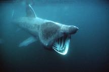 Basking shark_4.jpg