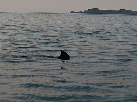 Tagged Shark Sighted off Tiree, Scotland