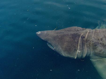 100th Basking Shark Tagged this Season