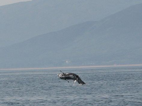Sharks Fly off Malin Head