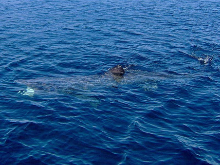 Basking Sharks Return!