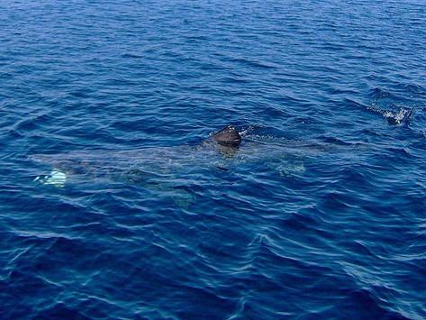 Basking Sharks Return!
