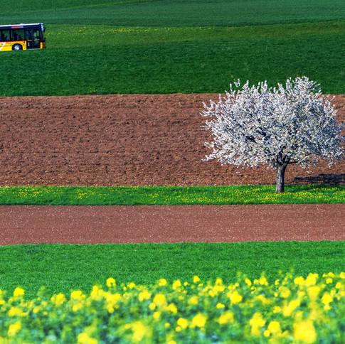 Wenslingen - Kirschblüte