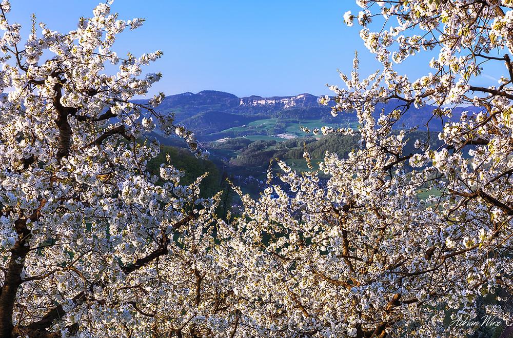 Kirschbäume bei Sissach mit Blick zum Bölchen