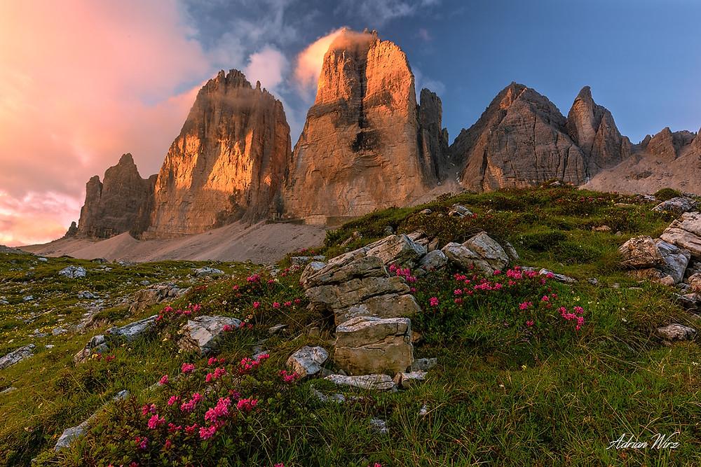 Alpenrosen vor den drei Zinnen in den Dolomiten.