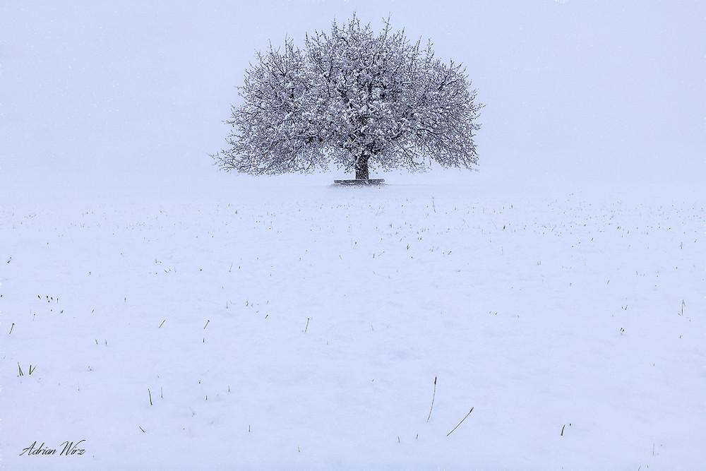 Kirschbaum in Buus nach heftigem Schneefall.