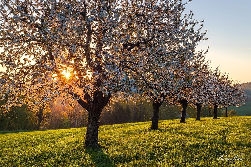 Kirschbäume bei Buus