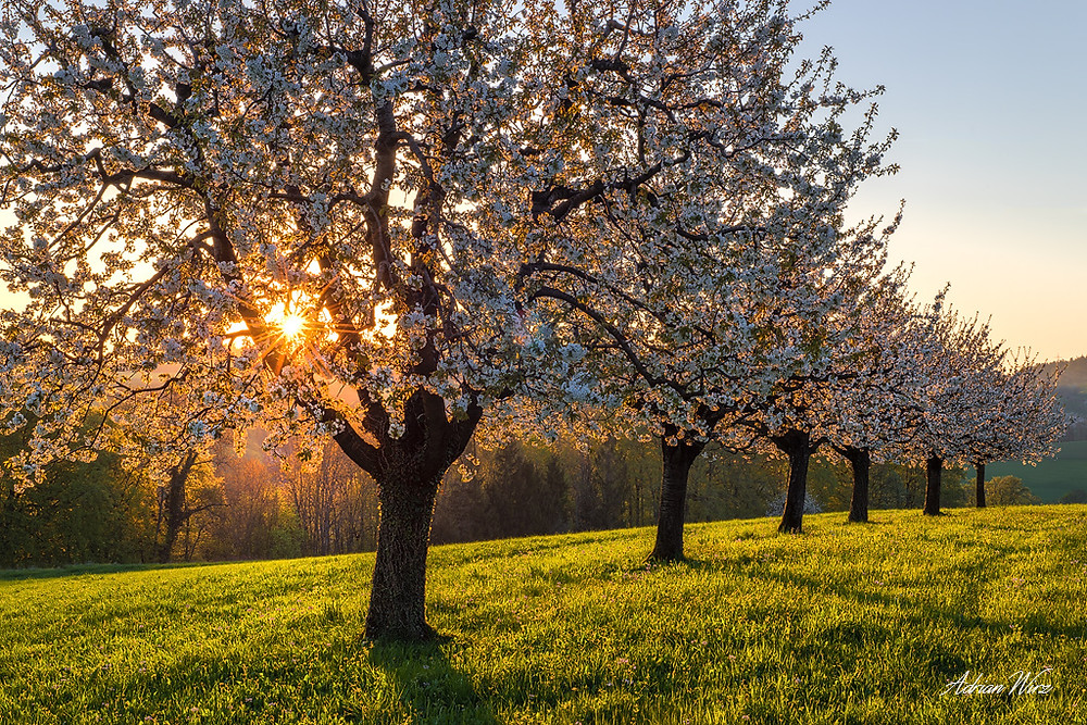Kirschbäume bei Buus im Kanton Baselland