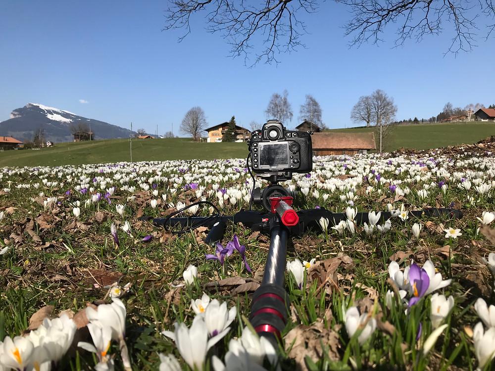 Krokusse im berner Oberland