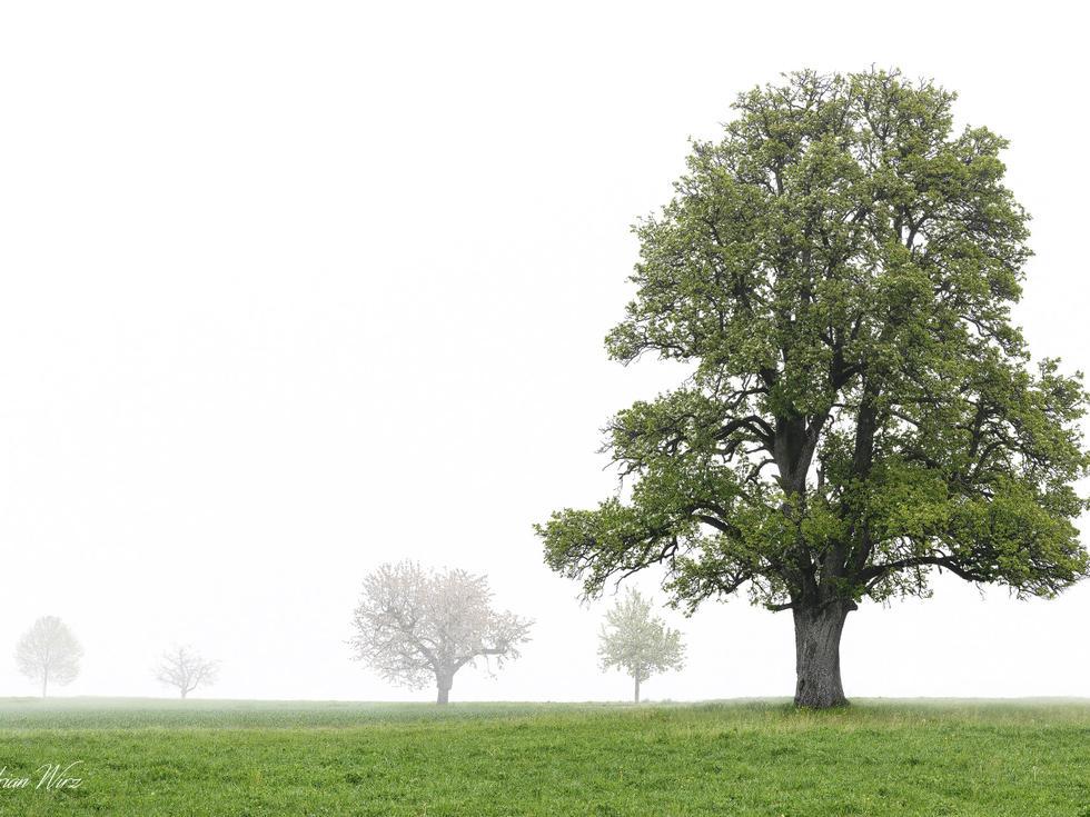 Birnbaum bei Rünenberg