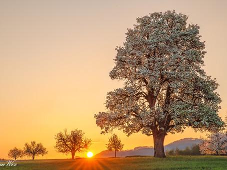Der Birnbaum in Rünenberg