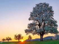 Birnbaum im Baselbiet