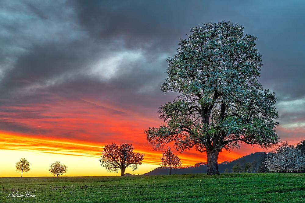 Birnbaum in Rünenberg vor Sonnenaufgang