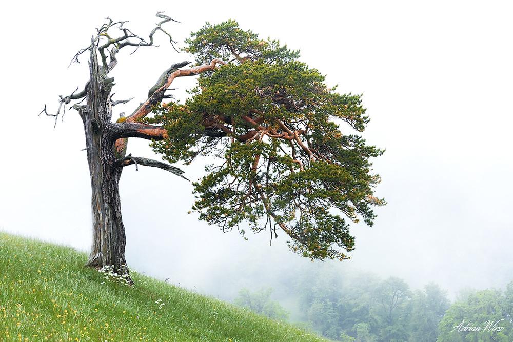 Bergföhre auf dem Roggen im Solothurner Jura