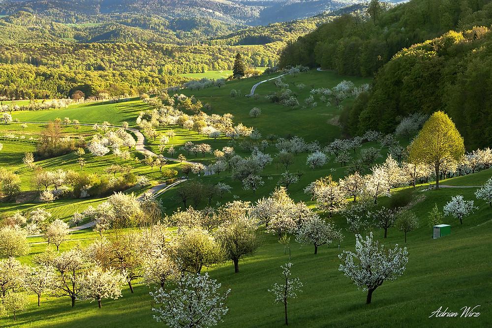 Kirschbäume bei Nuglar - St. Pantaleon im Kanton Solothurn