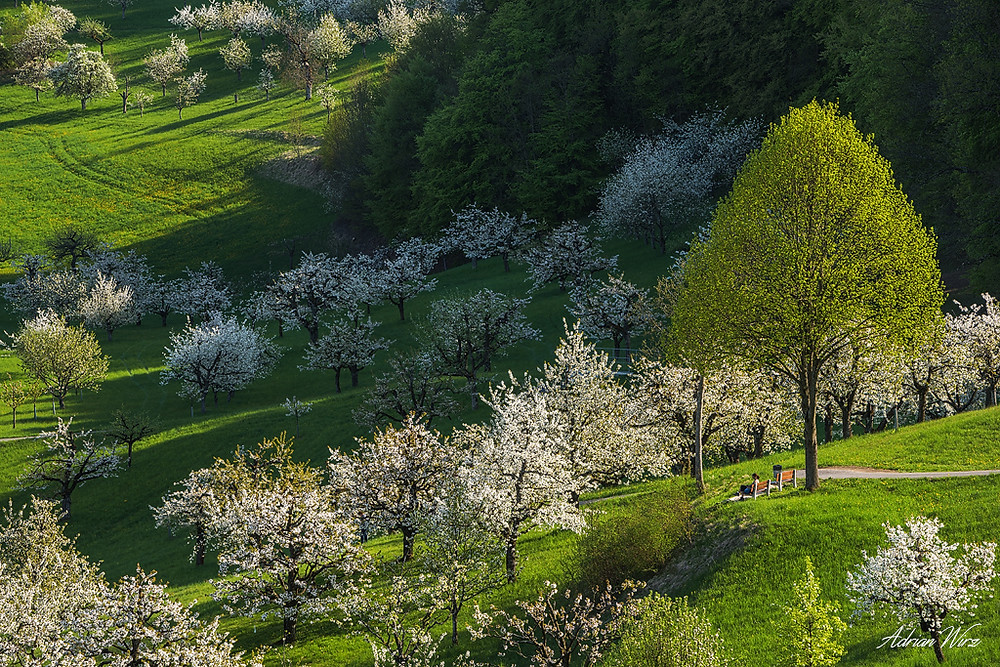Kirschblüte in Nuglar - St. Pantaleon