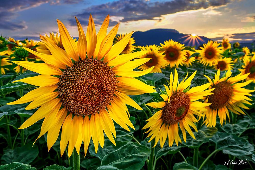 Sonnenblumen beim Sonnenuntergang