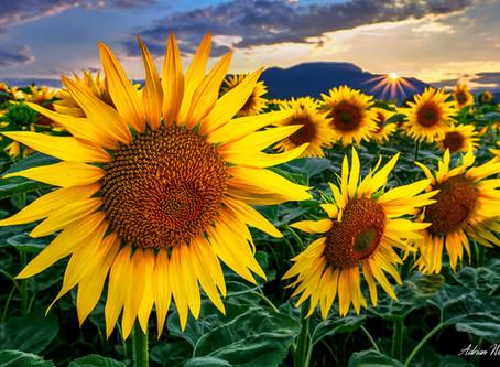 Sonnenblumen im Baselbiet