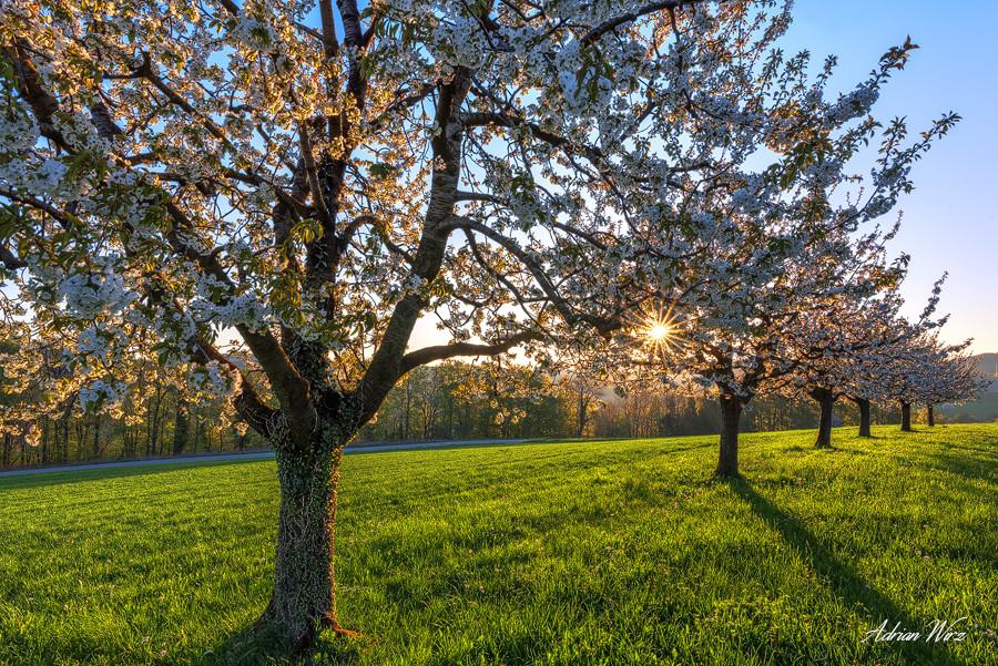 Blühende Kirschbäume bei Buus