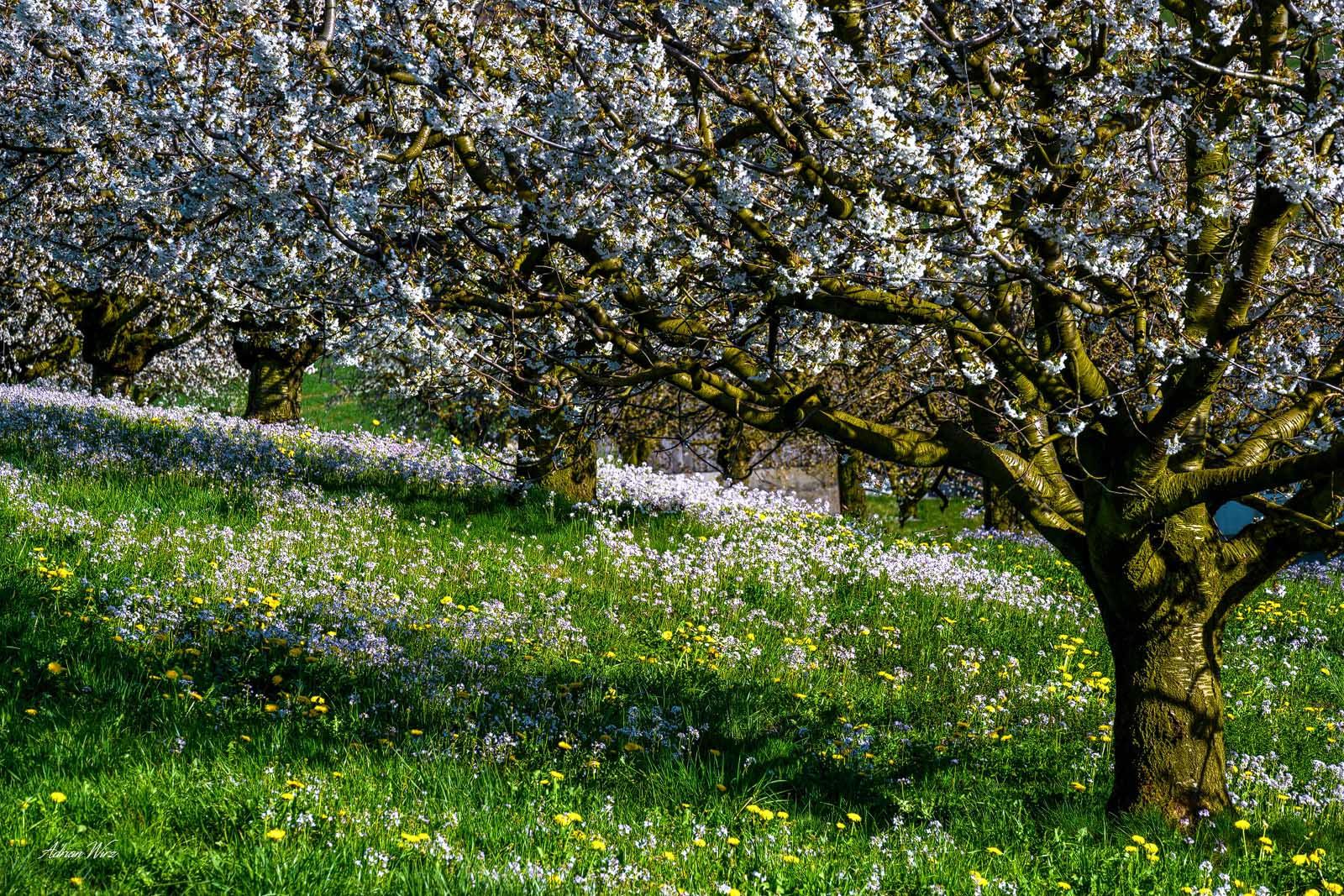 Kirschblüte-Baselbiet