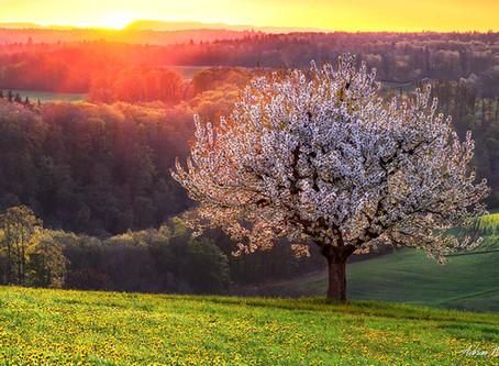 Baselbieter Kirschblüte 2020