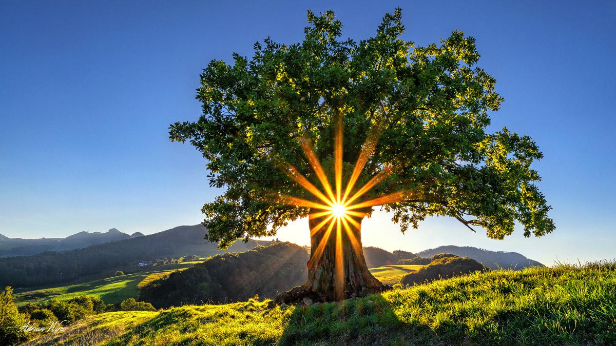 Eiche mit Sonnenstern