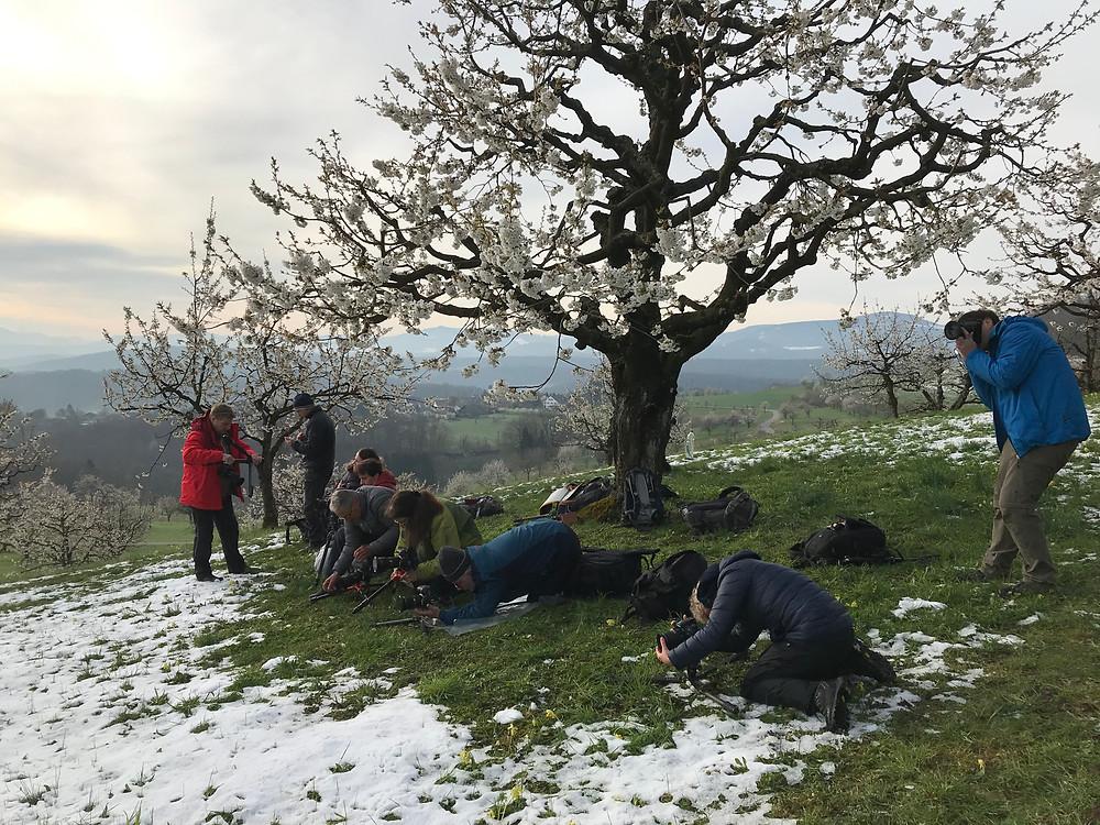 Kirschblüten im Schnee
