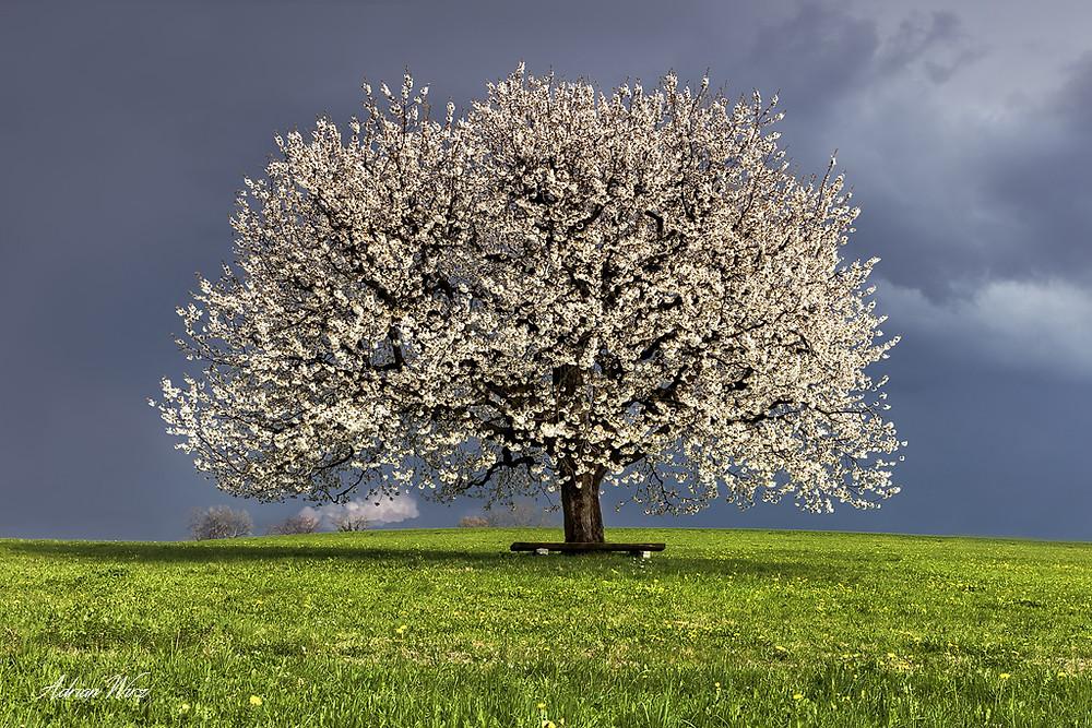 Kirschbaum in Buus