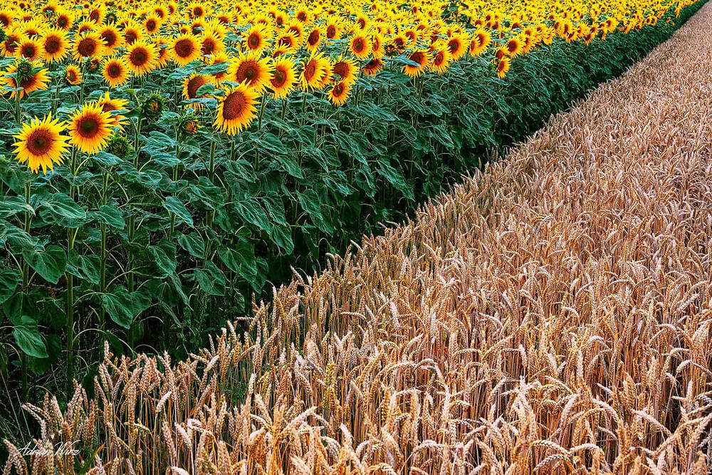 Sonnenblumenfeld und Roggenfeld