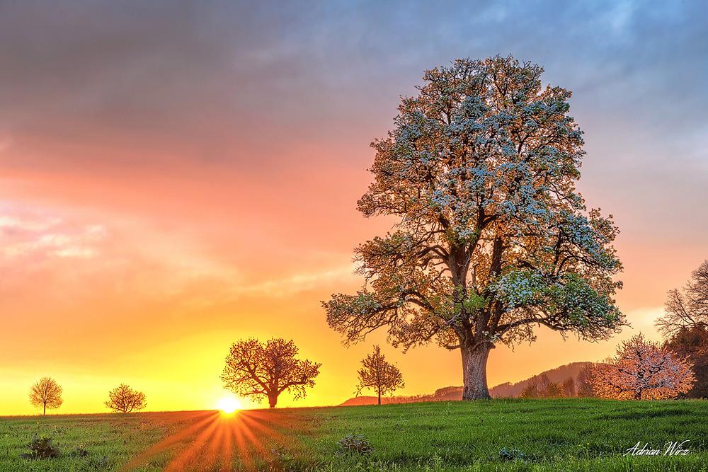 Alter Birnbaum im Oberbaselbiet