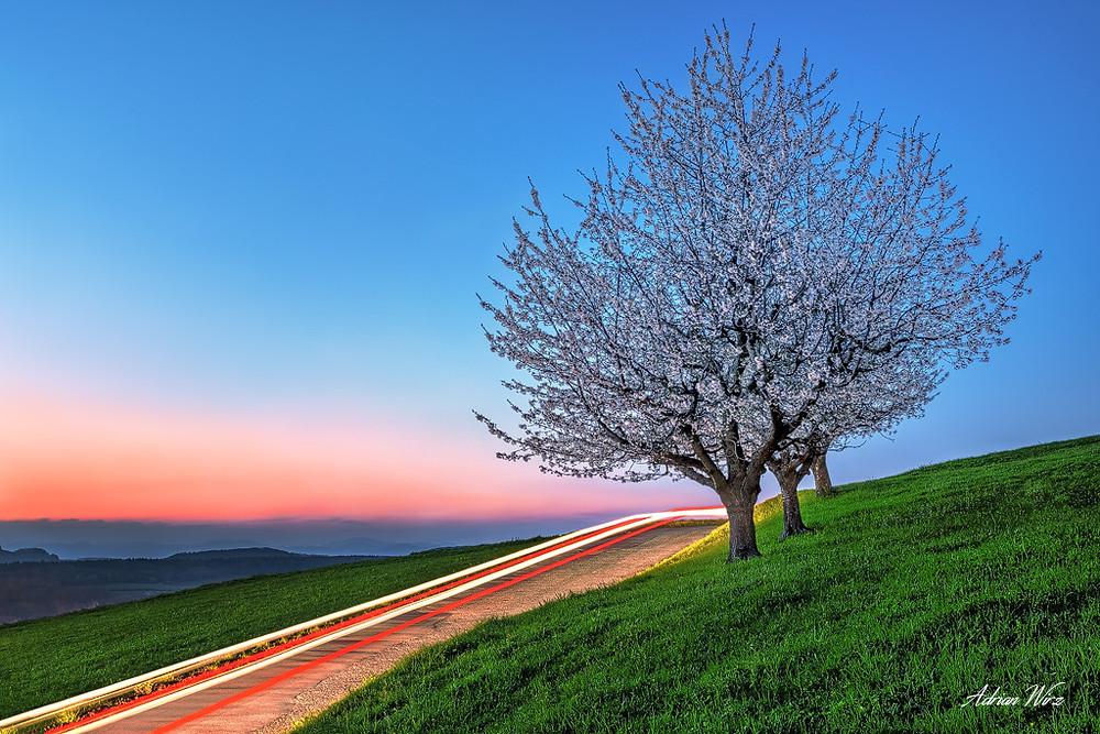 Kirschbäume bei Oltingen.