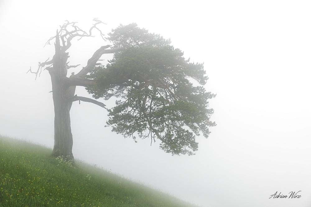 Föhre auf dem Roggen im Solothurner Jura