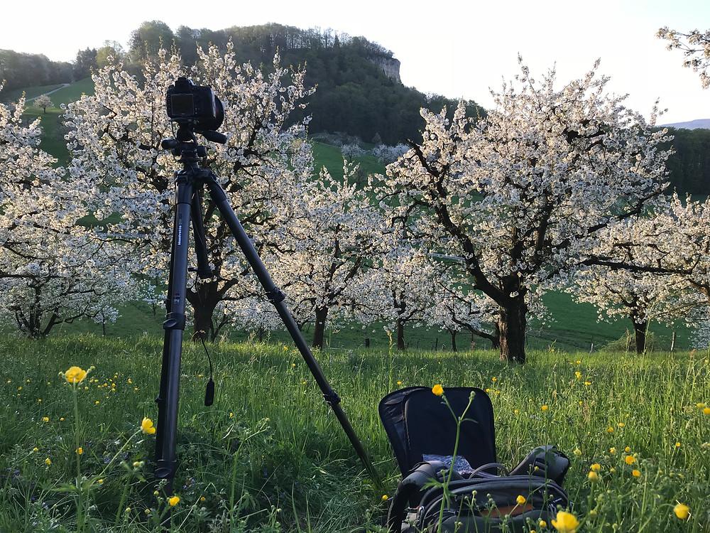 Kirschbäume bei Sissach