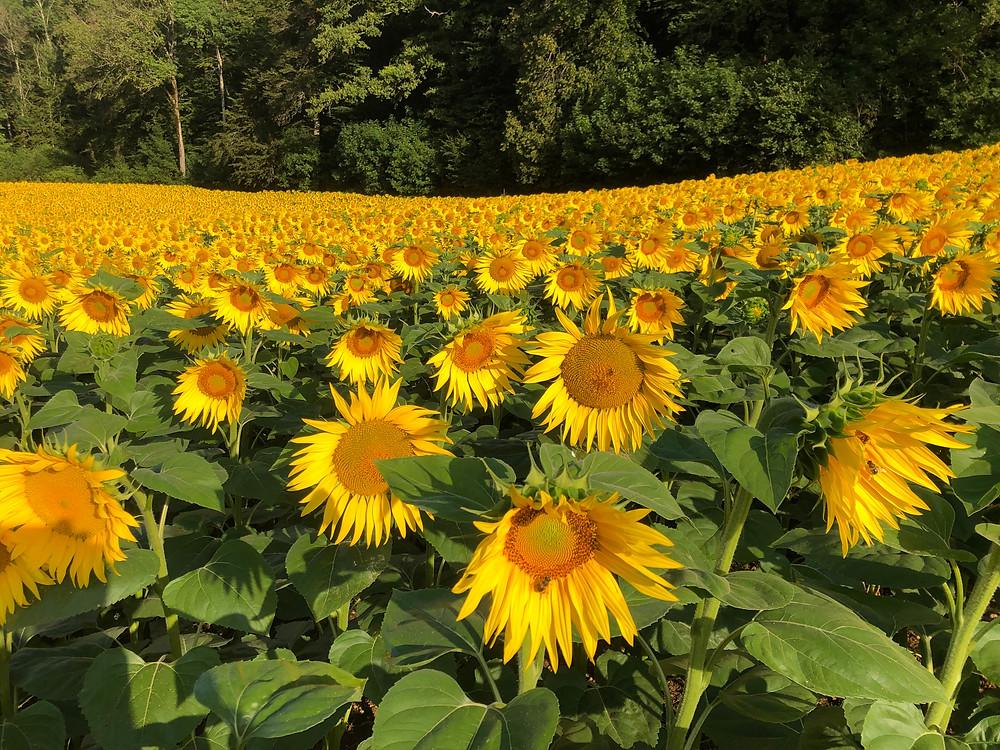 Sonnenblumenfeld in Ormalingen