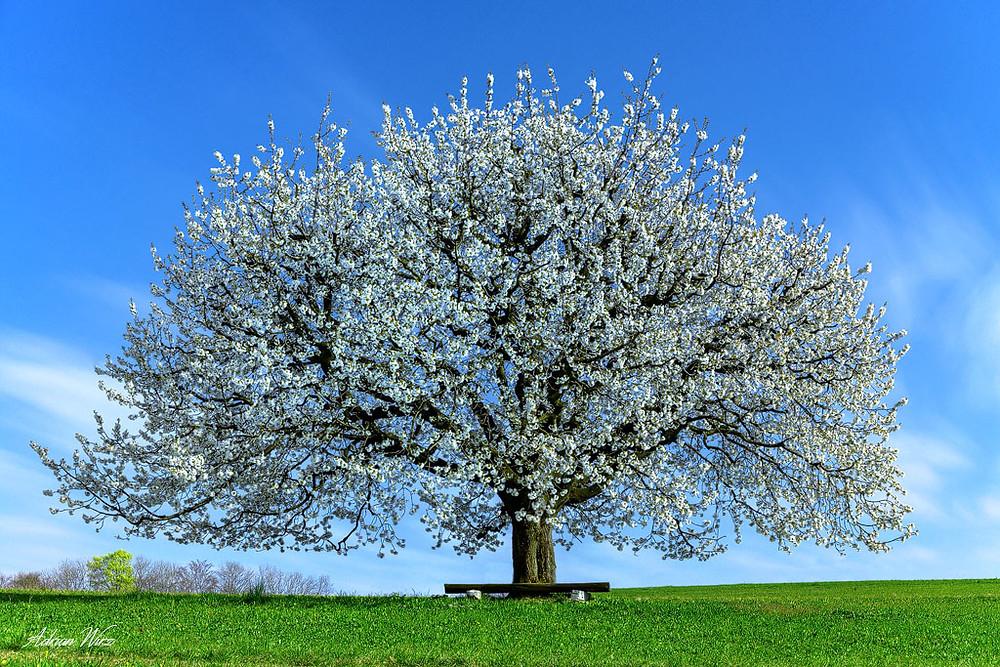 Baselbieter Kirschblüte