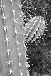 Cactus, Palm Desert