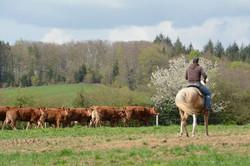 cattledrive2