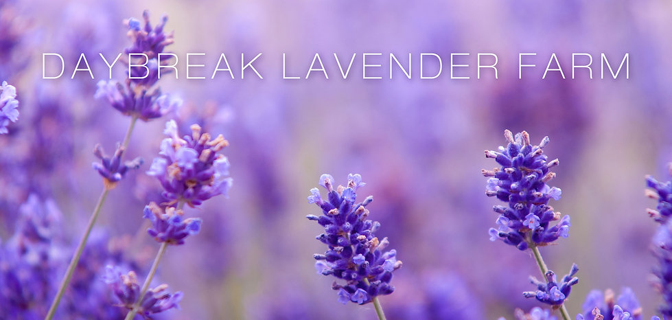 Daybreak Lavender Farm photo