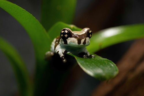 Amazon Milk Froglet lr (1).jpg