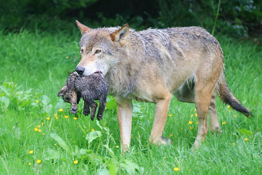 Mum Eliska carries one of her wolf pups