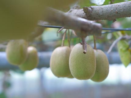 キウイ摘み取り開始と収穫祭(11/10)のお知らせ