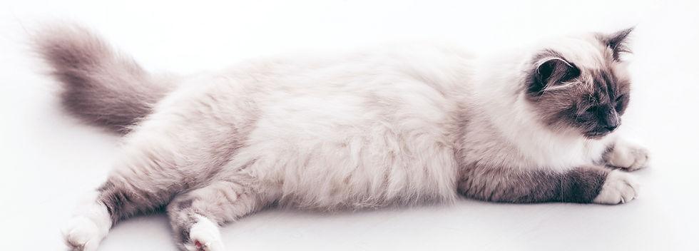 個別火葬の横たわる猫