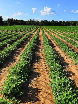 peanut field bladen.jpg
