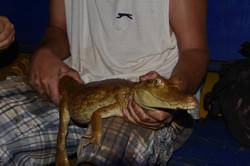 Caiman hunt