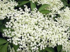 Fleurs-de-sureau-noir-comestibles-1024x7