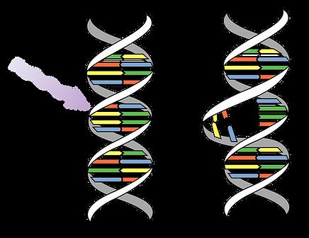 1280px-DNA_UV_mutation.svg.png