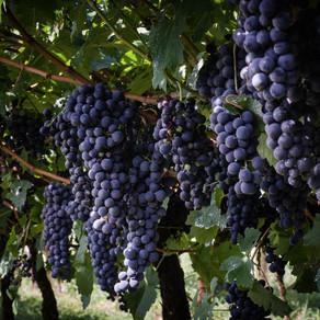 Safra 2021: colheita da uva deve passar de 800 mil toneladas no RS