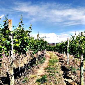 Vinhedo Girassol promove visitação com degustação na plantação de uvas Syrah no cerrado