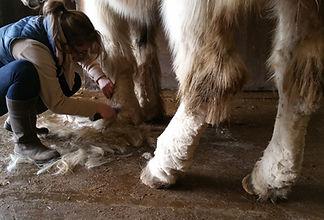 Het scheren van de benen bij ene paard met mijten