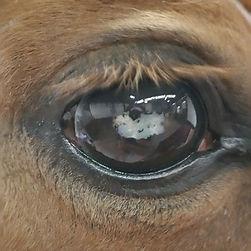 Paard met cataract
